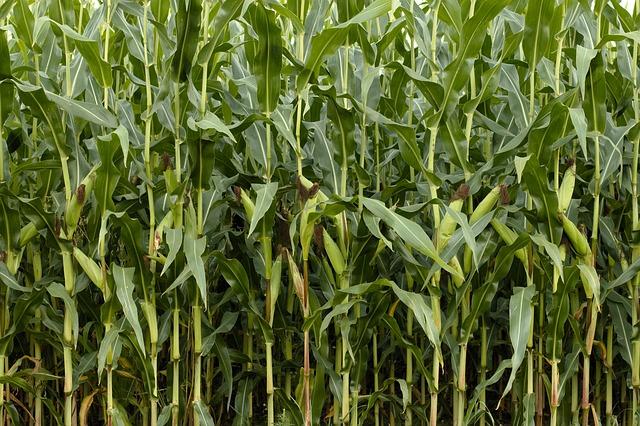 Záhon kukurice.jpg
